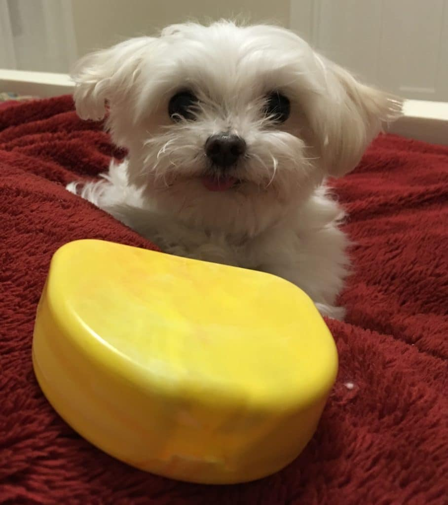 Small white dog with yellow plastic mouth guard case